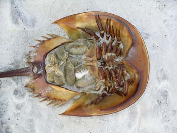 horseshoe crab bottom