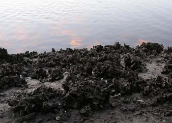 rough oyster beds